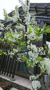 真っ白な桜①