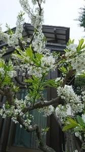 真っ白な桜②