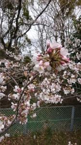 今日の桜③