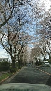 昨日の桜②