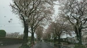今日の桜①